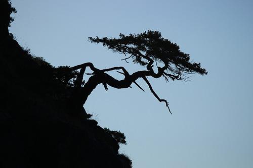 Ceibon Tree